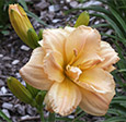 'Peach Flurry' (Lamb-K. 2013). A hose-in-hose double daylily. Diploid.