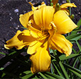 'Solid Gold Spats' (Lamb-K. 2013). Bright gold Unusual Form hose-in-hose double daylily. Diploid.